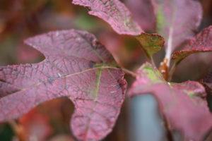 美しく色づいたカシワバアジサイの葉